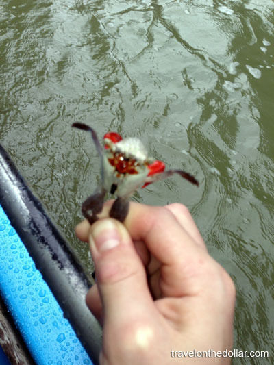 Crab at Mangrove tour at Manuel Antonio Park