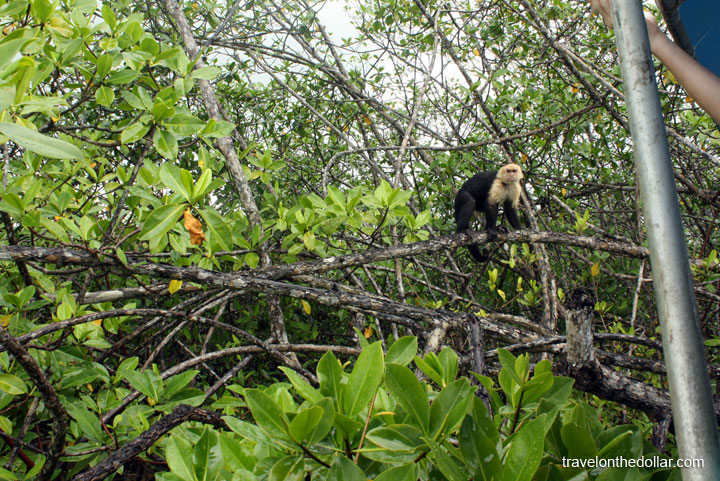 Monkeys at Mangrove tour at Manuel Antonio Park