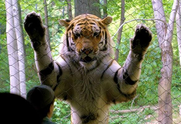 tiger-attack