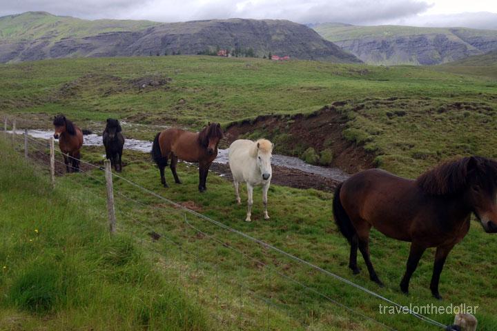 icelandic_horses1