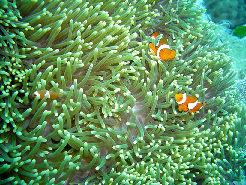 Pic-2---Clown-fish,-GBR