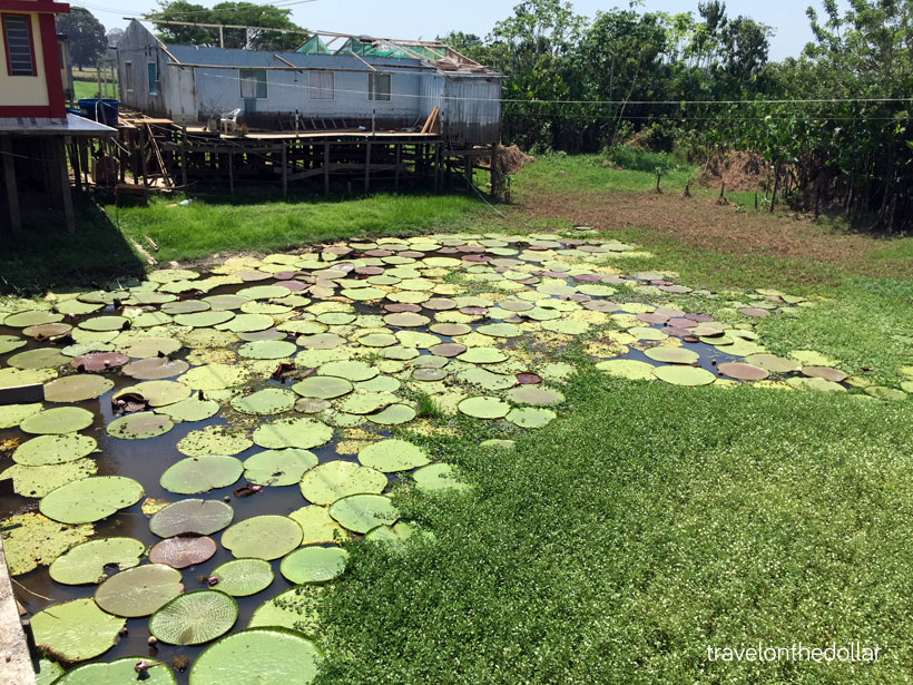 waterlilies1